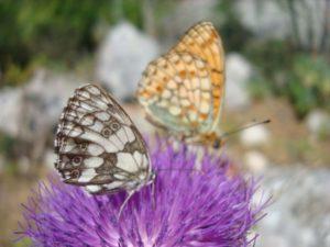 Leptiri šahovnica (Melanagria galatehea) i niobina sedefica (Argynnis niobe) na cvatu glavočike (foto Tomislav Anić)