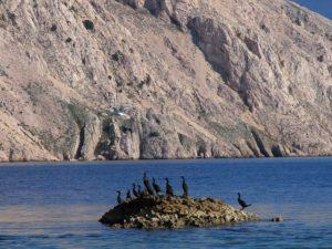 Morski vranci na hridi ispred Prvića (foto arhiva JUP)