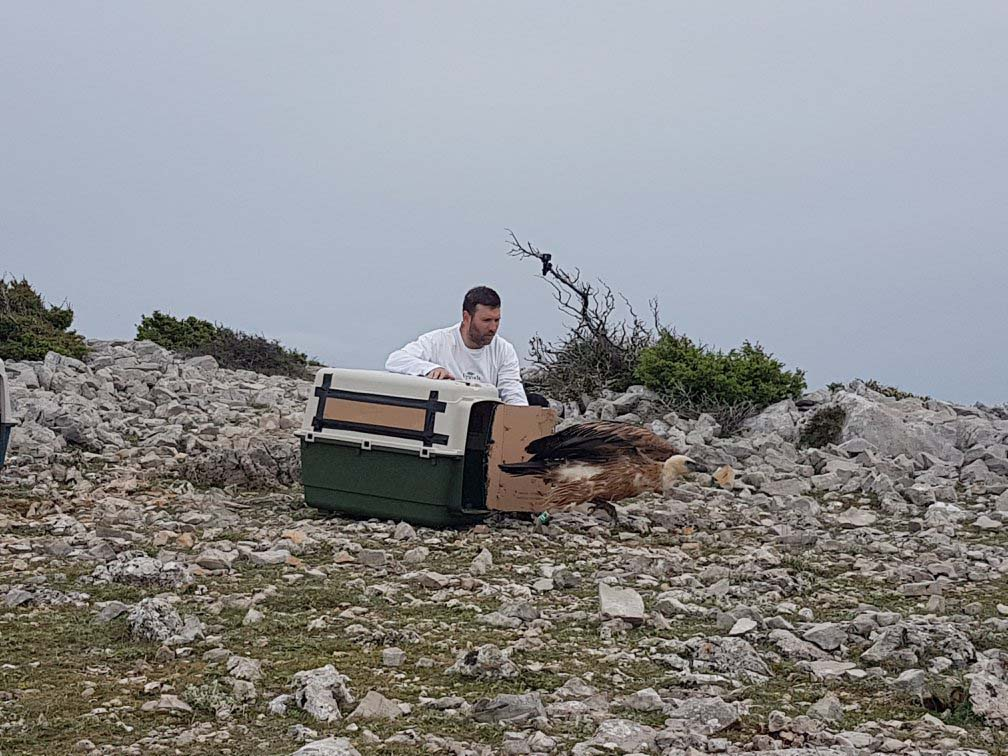 After several month of recovery, six griffon vultures released back to wilderness