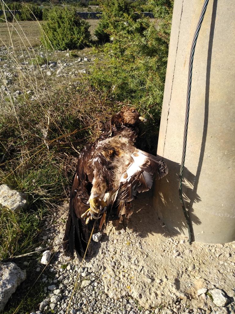 Suri orao i bjeloglavi sup – posljednje žrtve elektrokucije na otoku Cresu