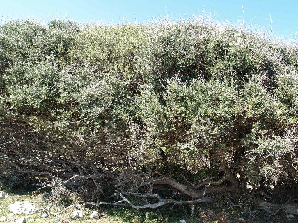 Dendroflora – drveće, grmlje i drvenaste povijuše otoka Cresa