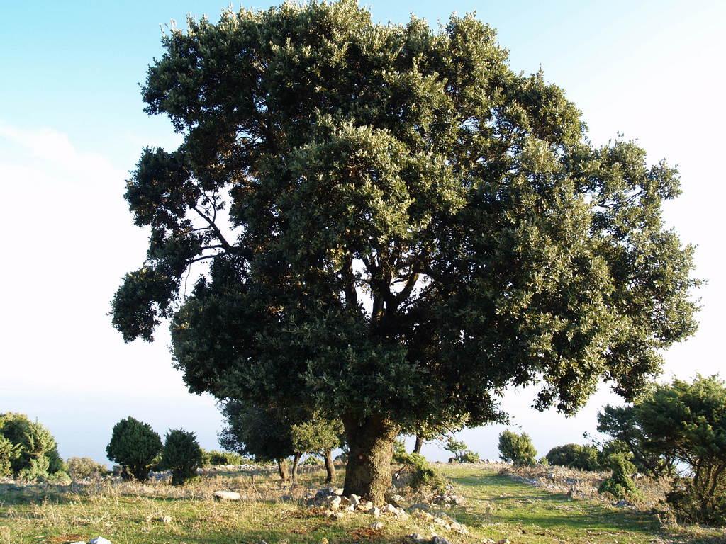 Staro stablo crnike iznad Merga