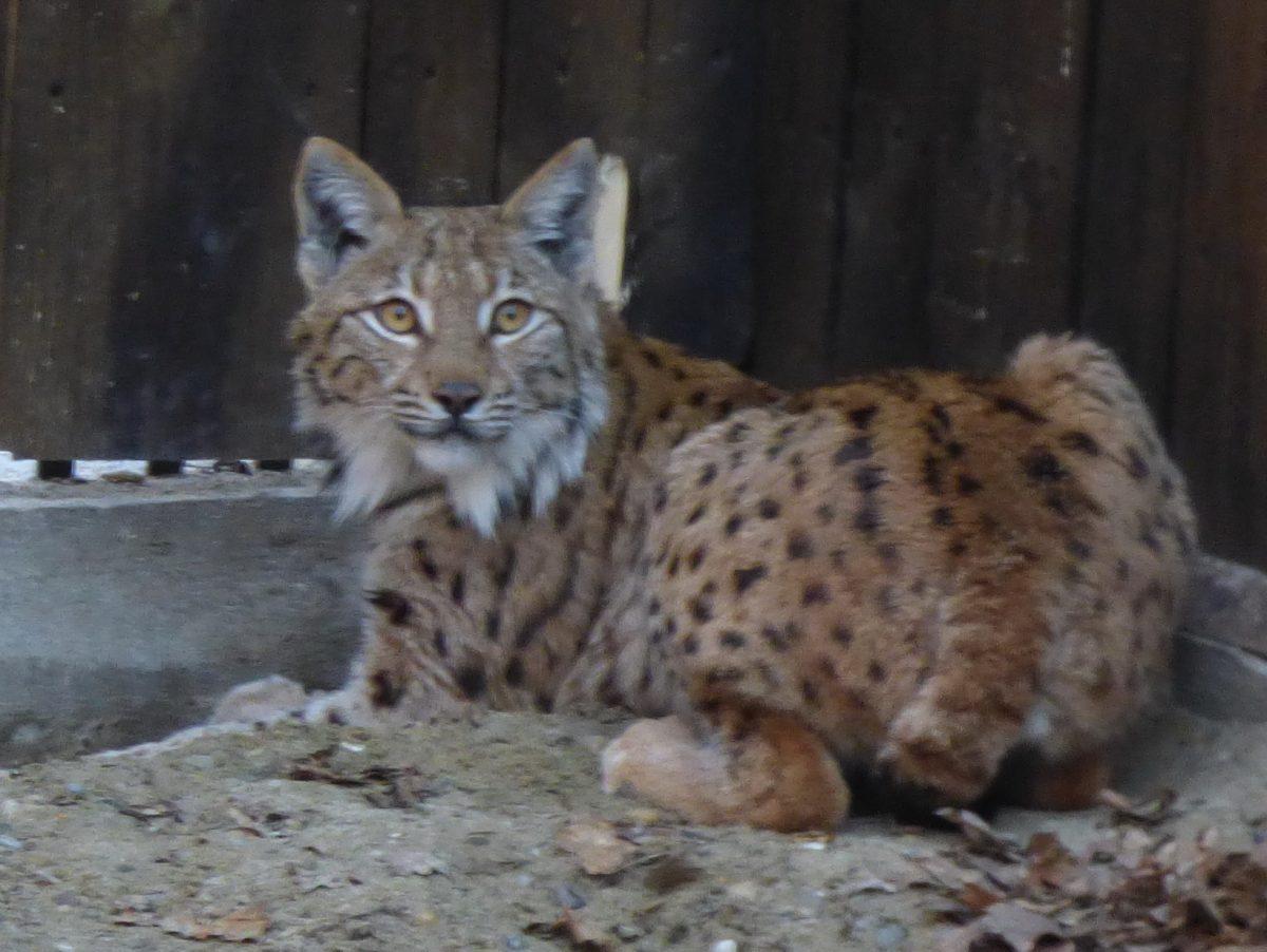LIFE Lynx vijest - Glasanje za ime prvog risa koji dolazi u Hrvatsku