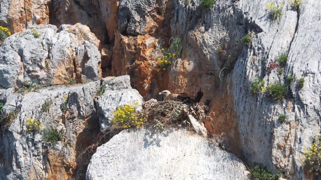 Na Plavniku ove godine zabilježili smo čak 14 parova supova na gniježđenju!