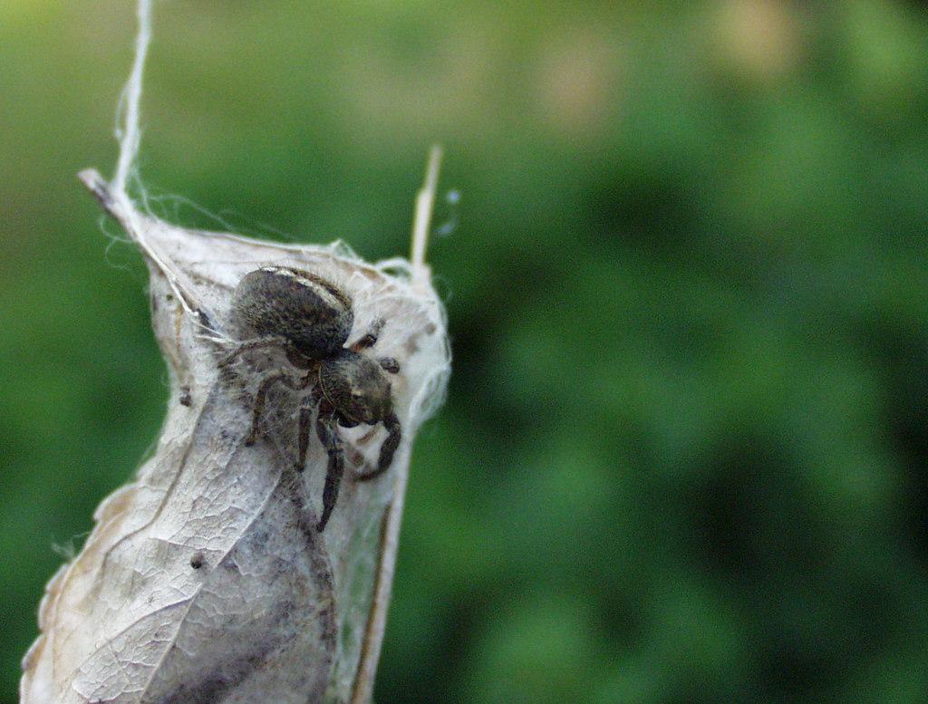Paukovi u šiškama i u tuljcima suhog lišća