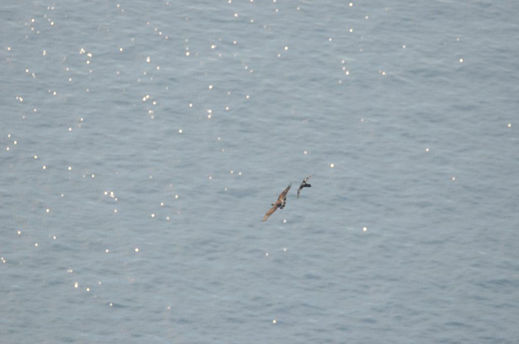 Pojedinačno, a pogotovo u skupinama, gavrani znaju biti ustrajni u tjeranju surog orla s gavranovog teritorija. Foto: Tomislav Bandera Anić