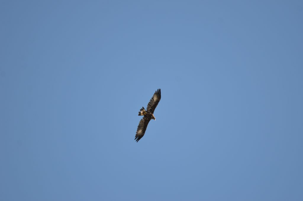 Mlada jedinka surog orla u letu iznad otoka Cresa. Foto: Tomislav Bandera Anić