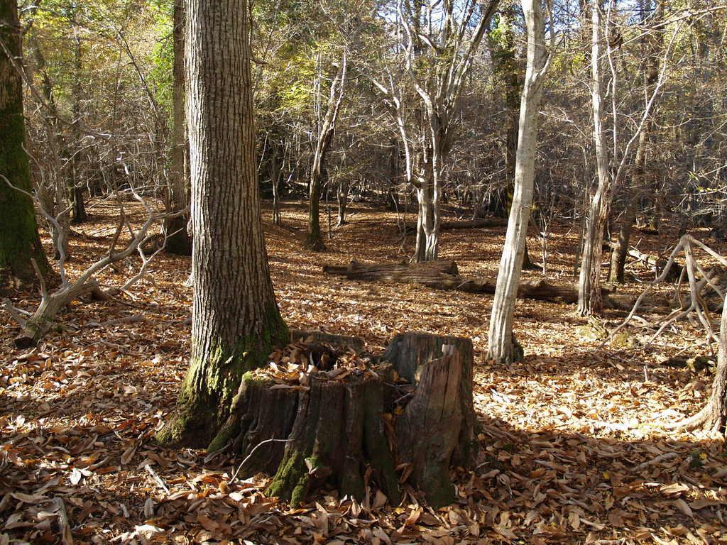 Šume pitomog kestena
