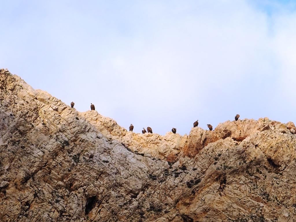 Bjeloglavi supovi - čuvari otoka Prvića