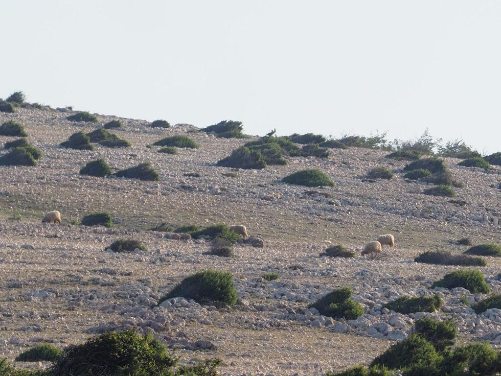 Supovi i ovčarstvo